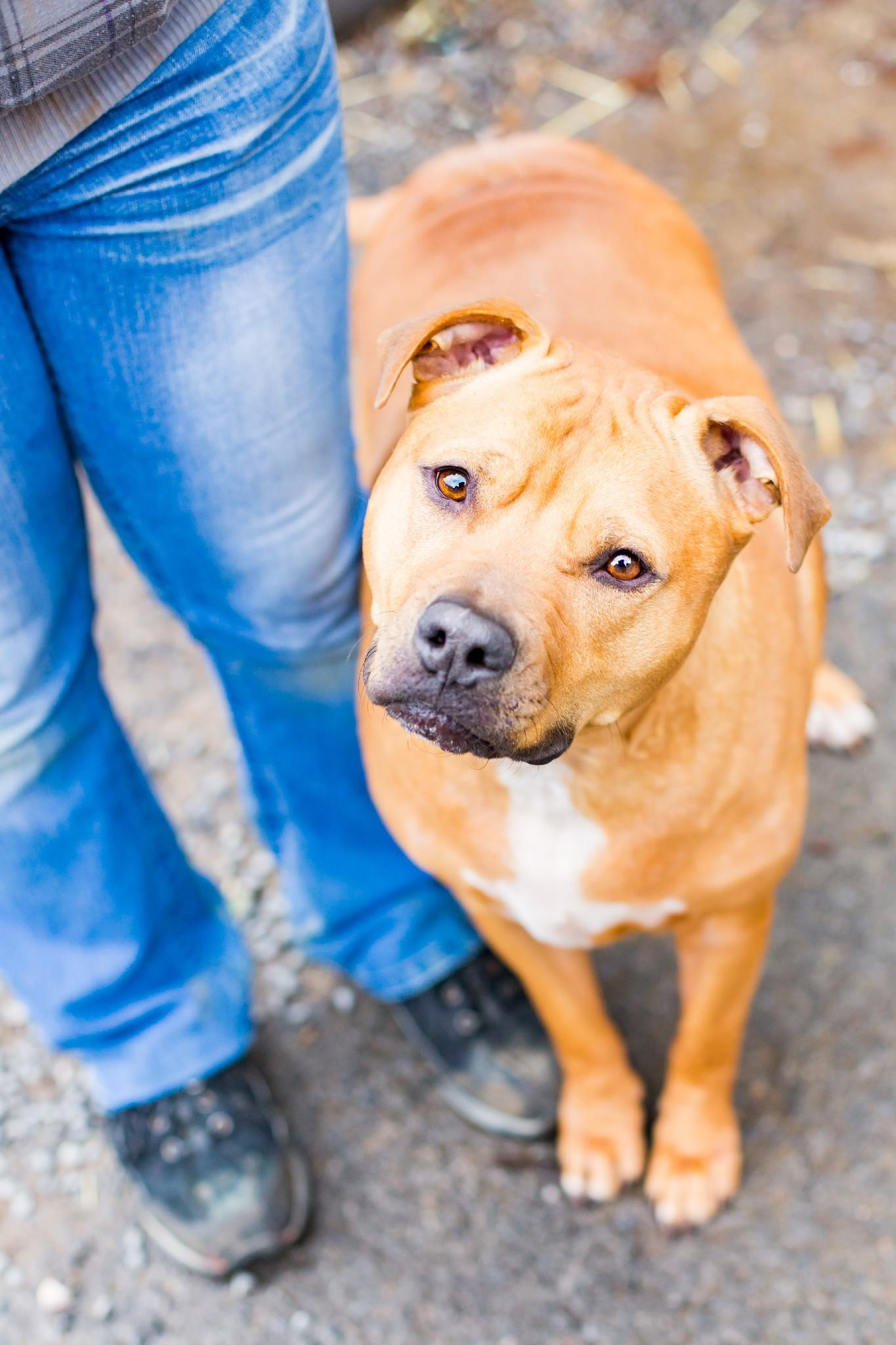 Scarecrow | Large Adult Male American Staffordshire Mix