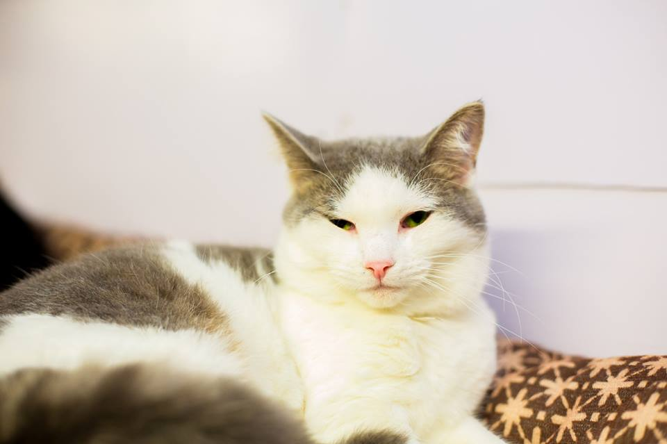 Shimmer | Medium Adult Female Domestic Short Hair