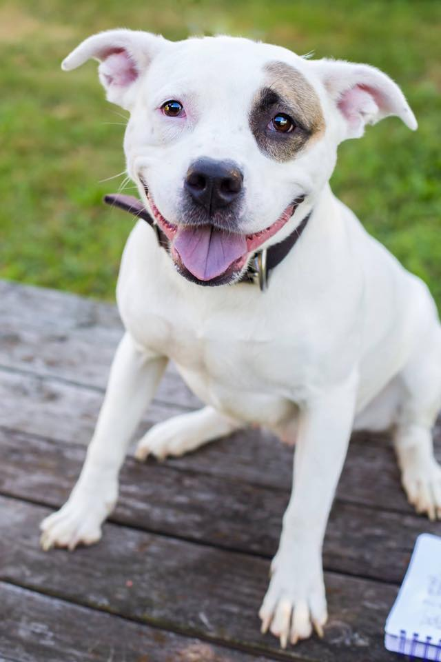 Harley Quinn - American Staffordshore Terrier Mix