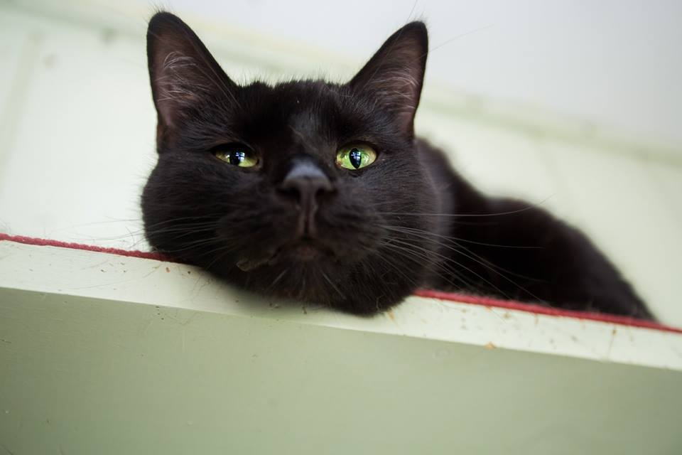 Katie | Medium Adult Female Domestic Short Hair