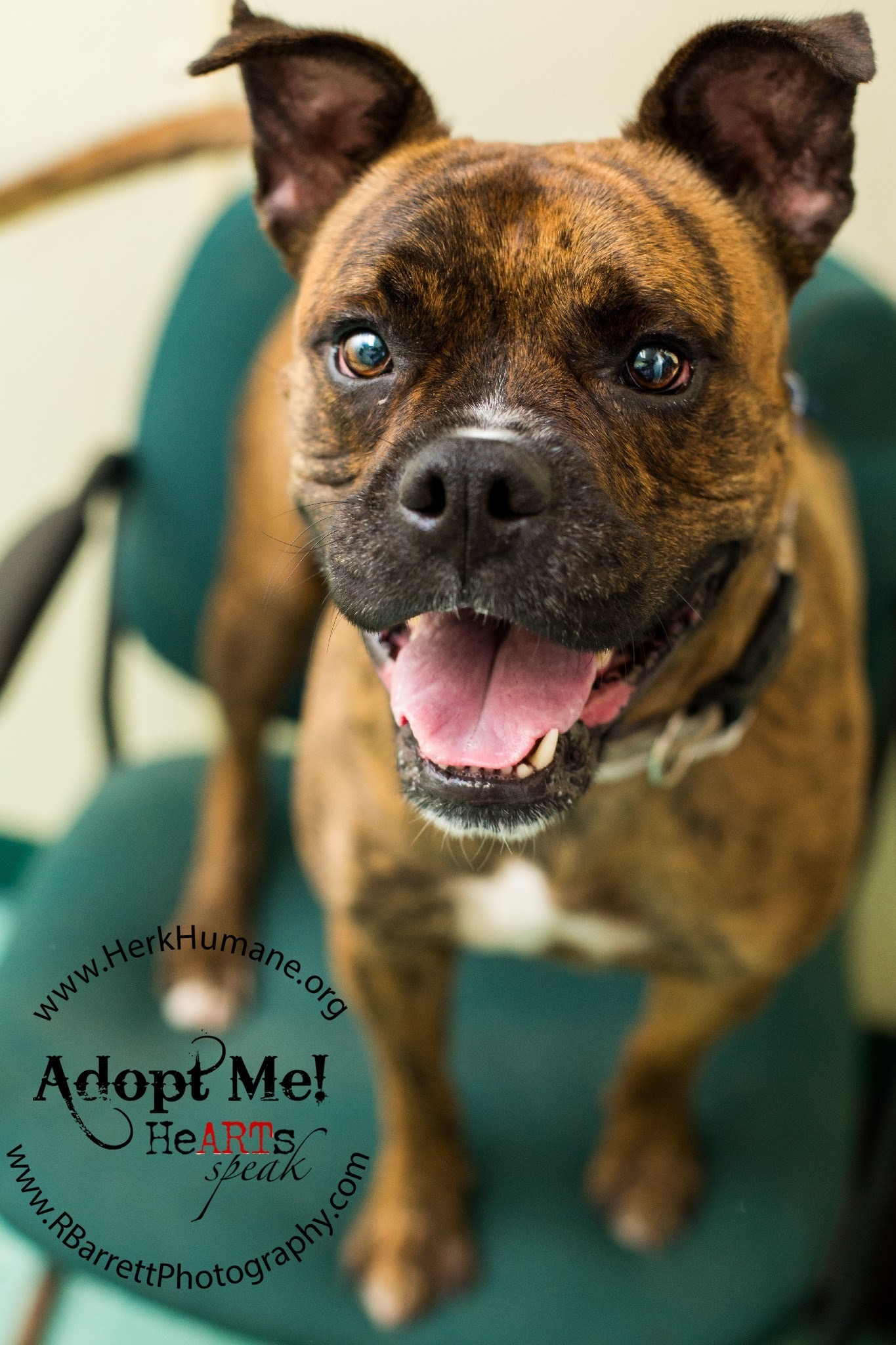 Hoggle | Medium Adult Male Boxer Mix