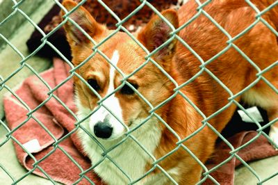 Abandoned corgis now safe at Shelter