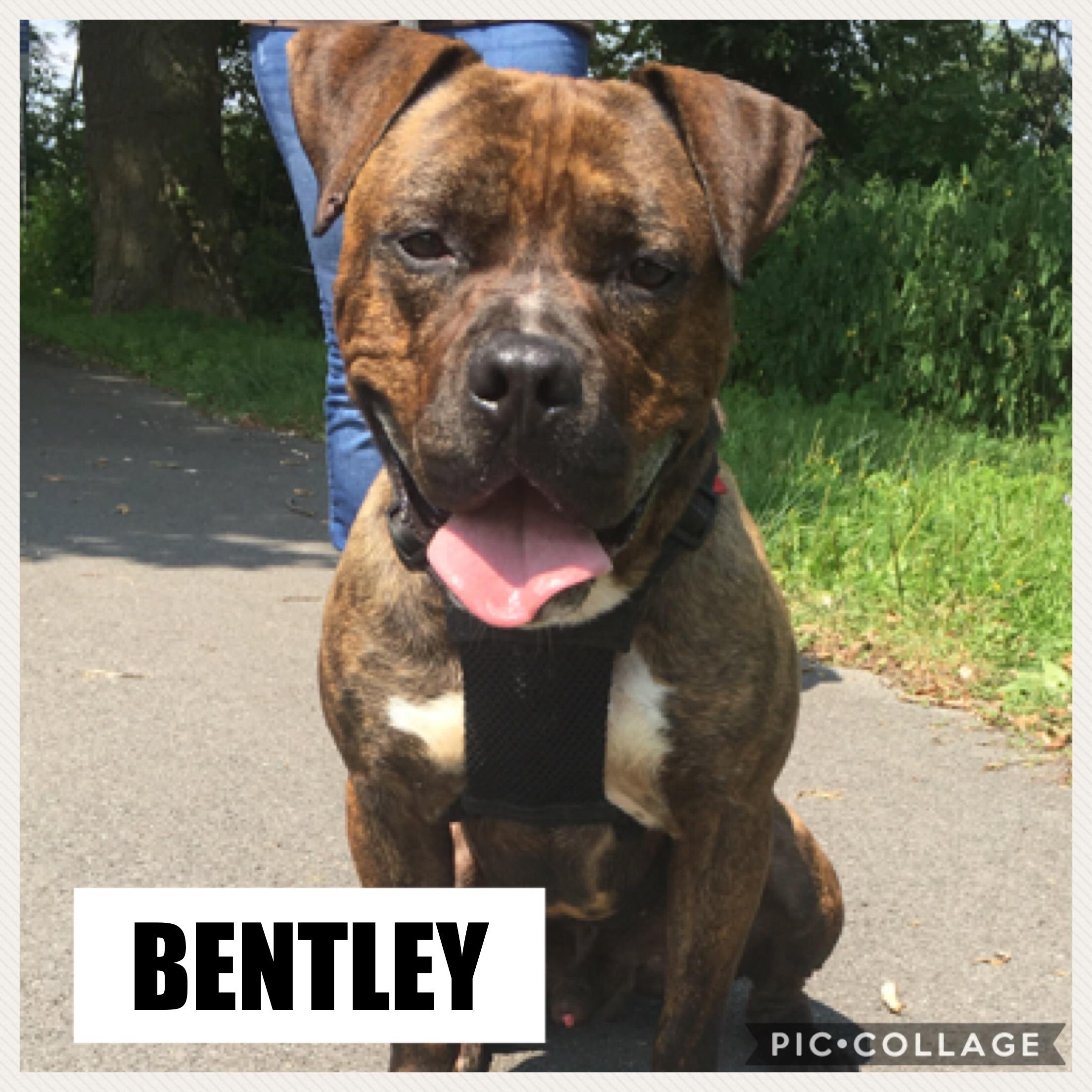 Bentley - AmStaff/Bulldog Mix