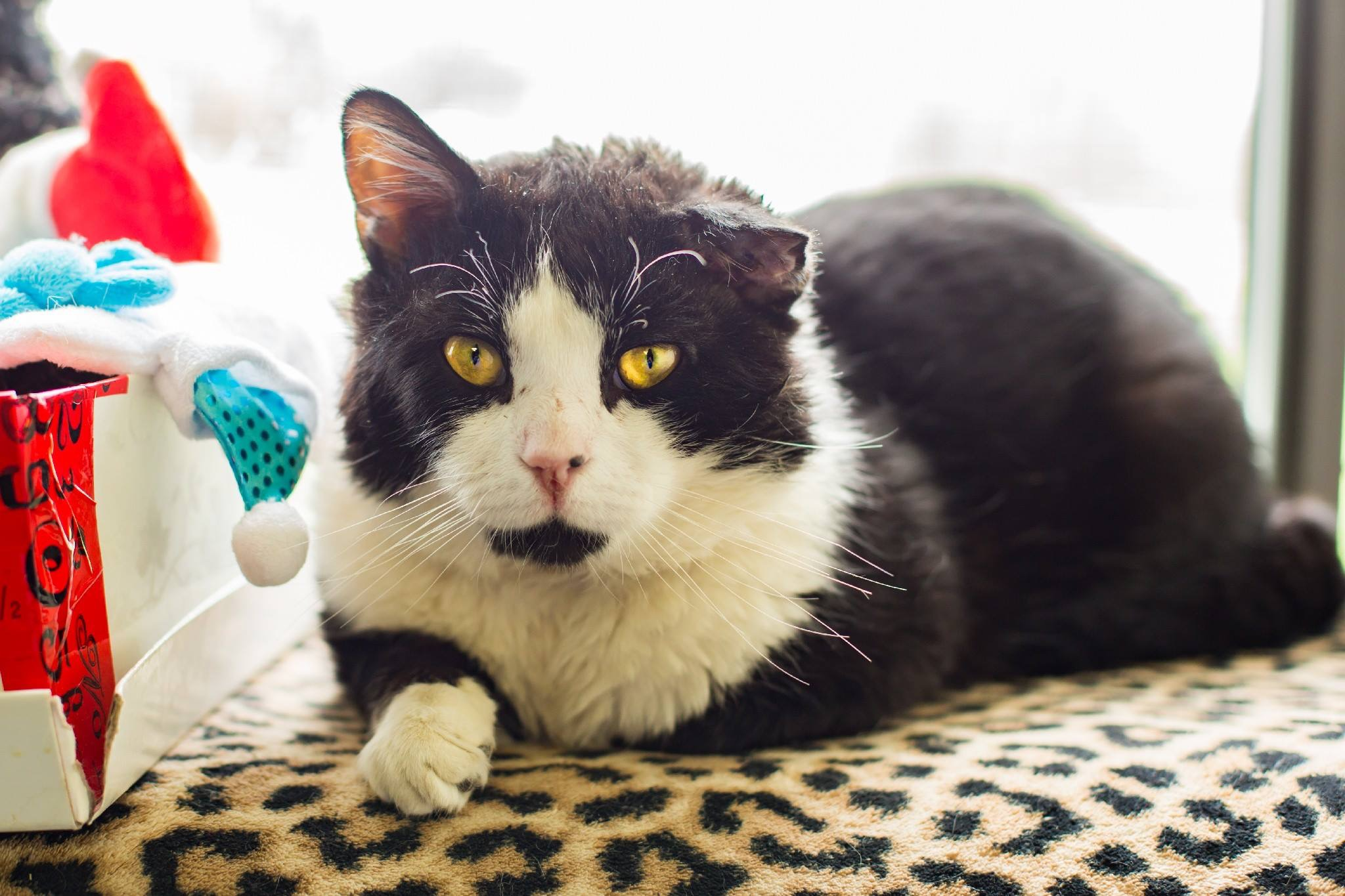 Eddie Munster | Medium Adult Male Domestic Short Hair