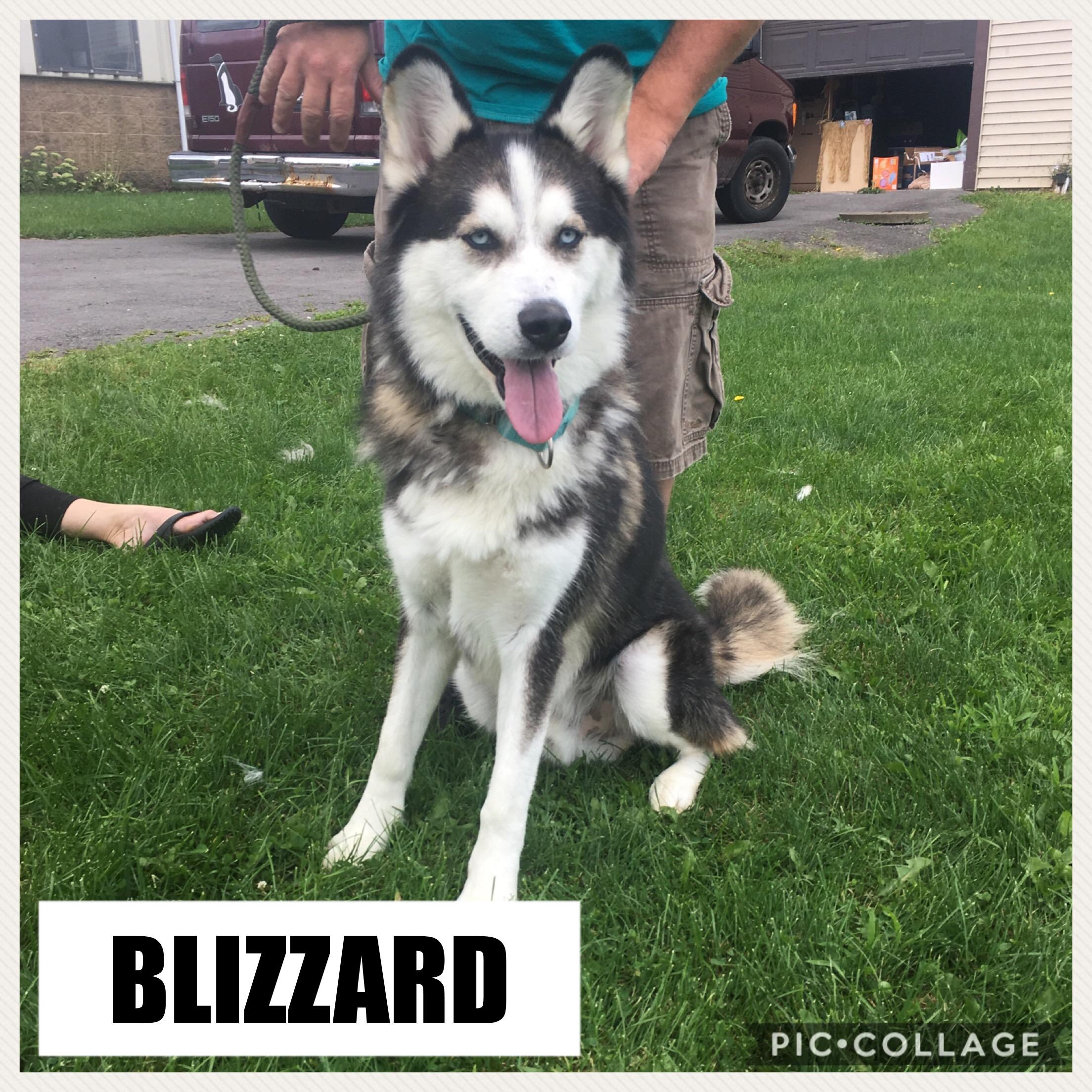 Blizzard - Husky