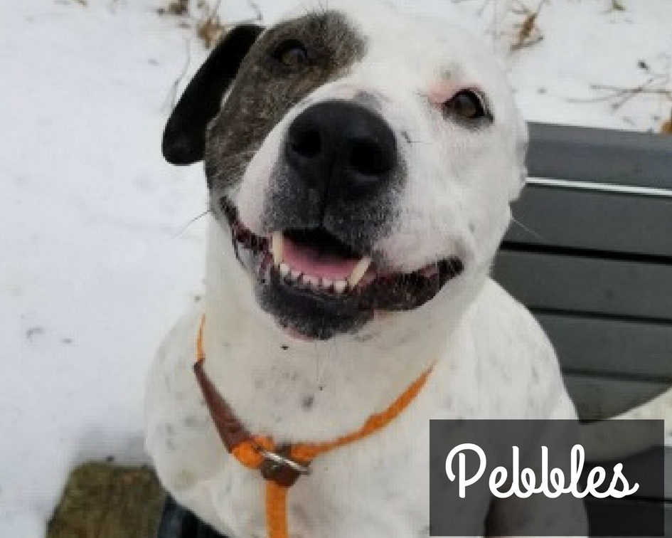 Pebbles - American Staffordshire Terrier Mix