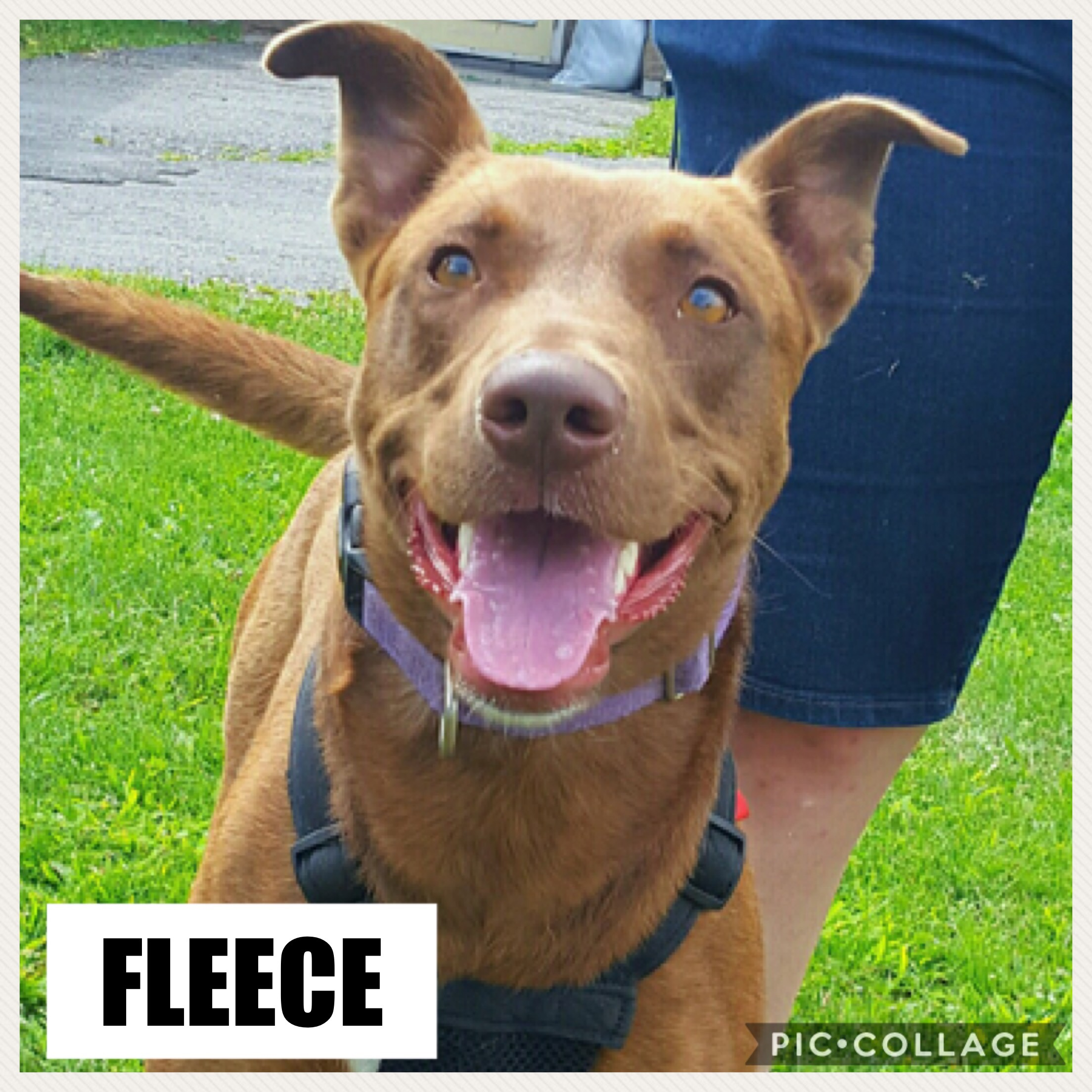 Fleece - Lab Hound Mix