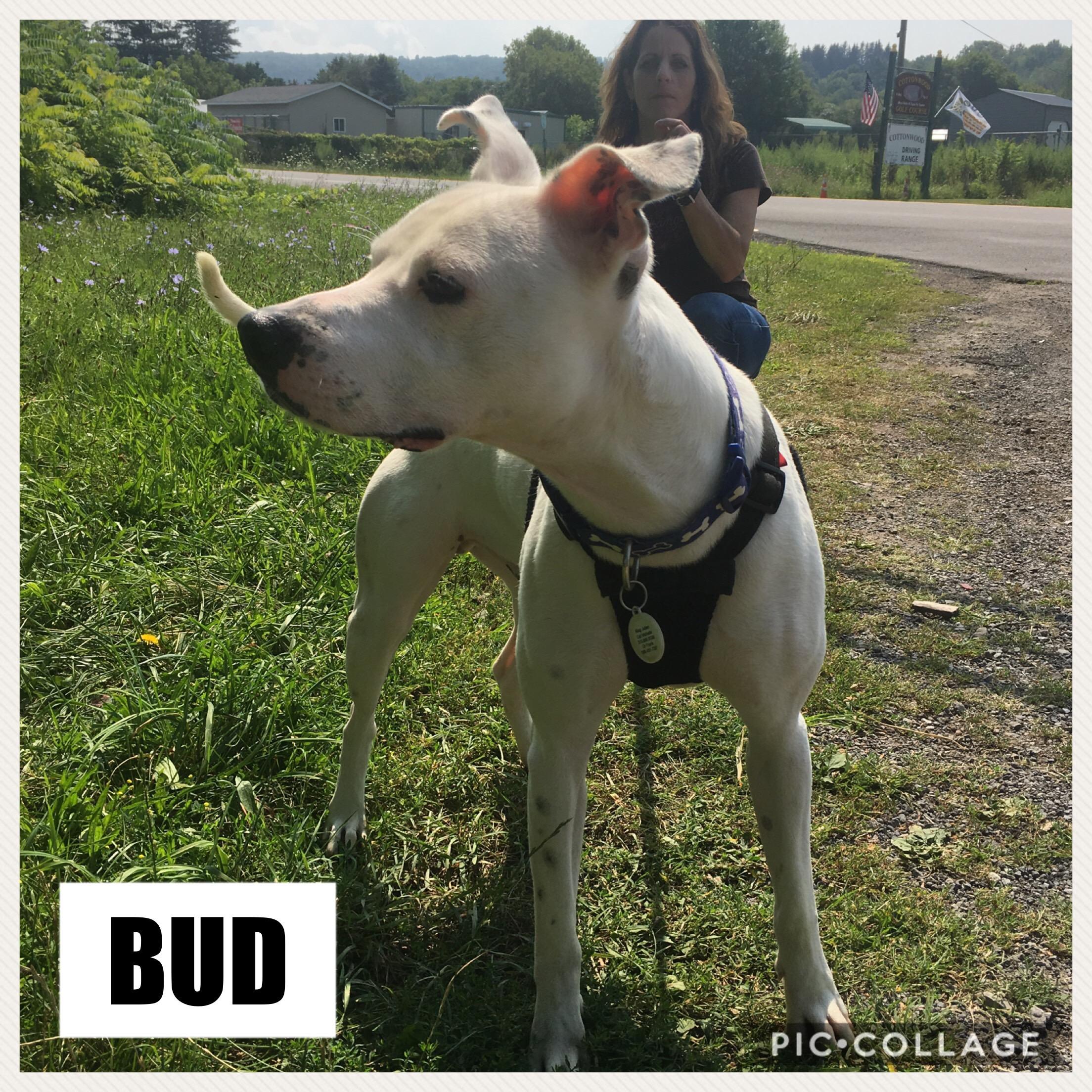 Bud | Medium 2 years Male Dalmatian & Pit Bull Terrier Mix