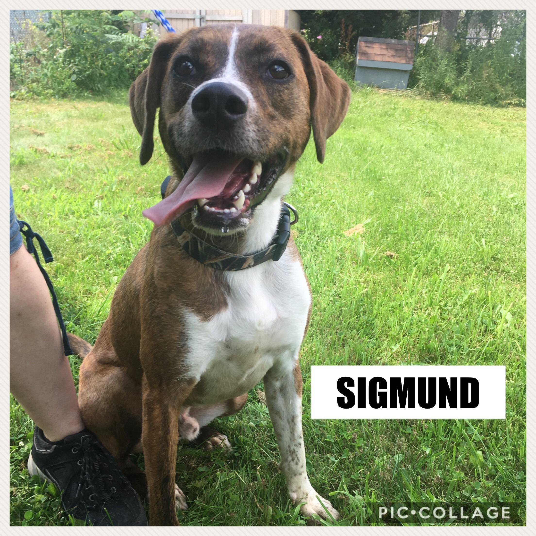Sigmund - Hound Mix