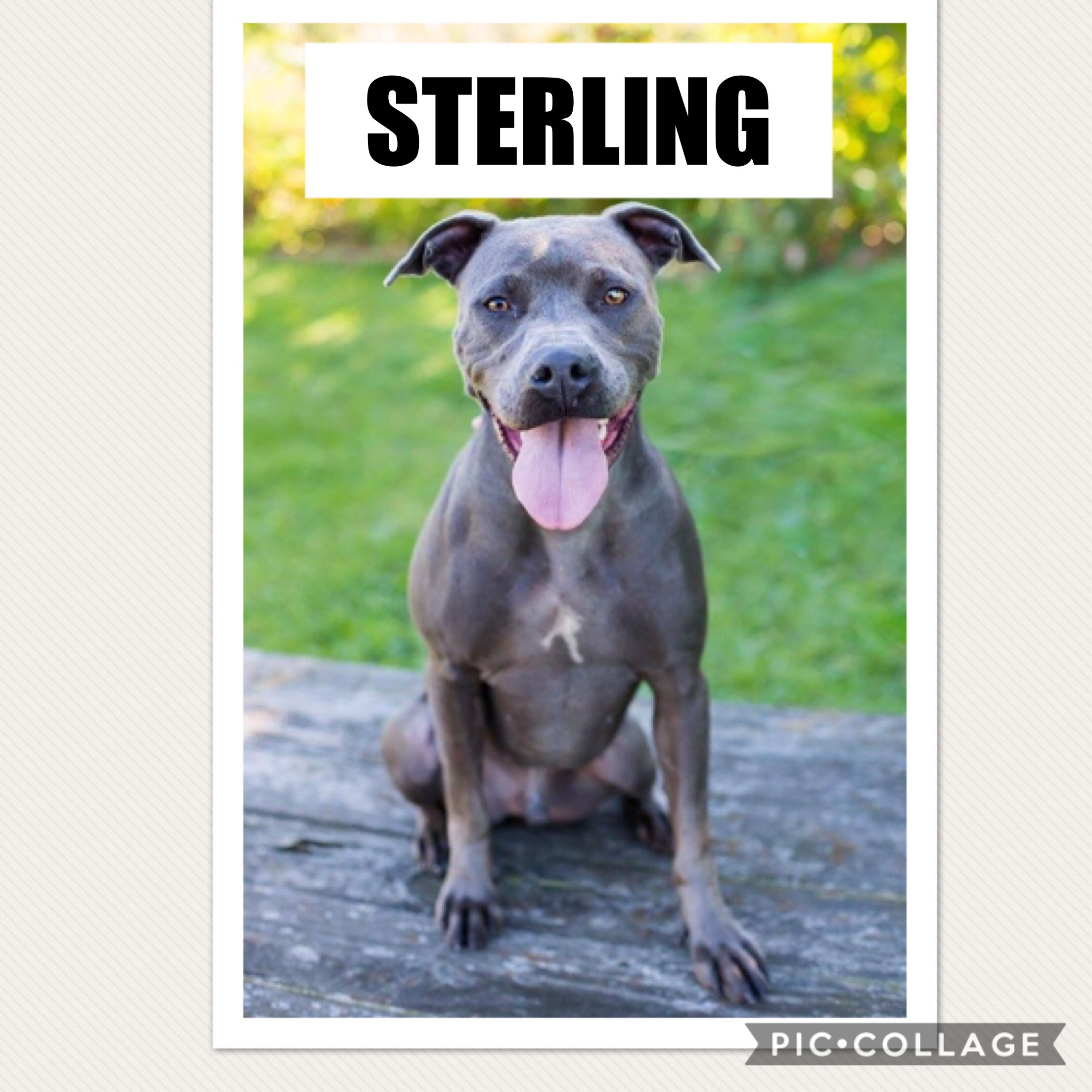 Sterling - Pit Bull Terrier Mix