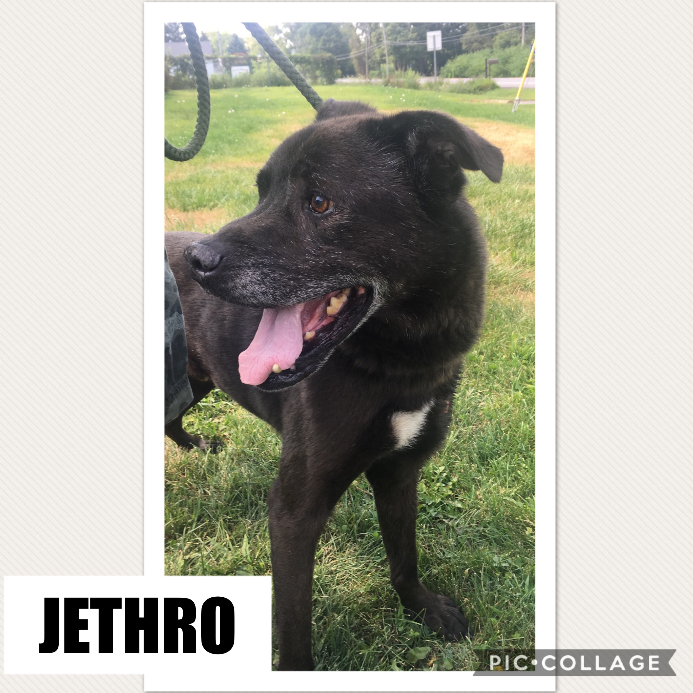 Jethro - Lab Mix