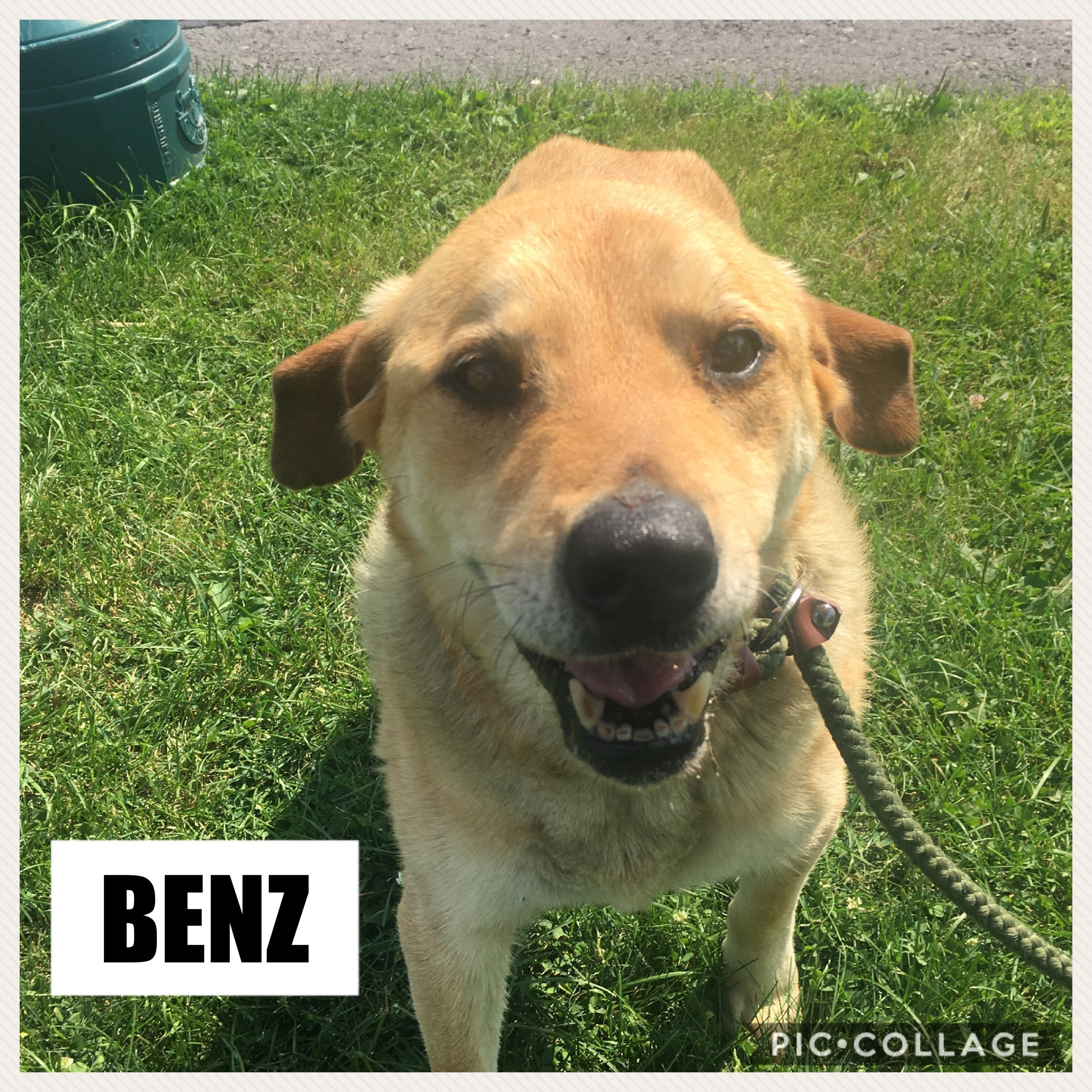 Benz | Medium Senior Male Lab Mix