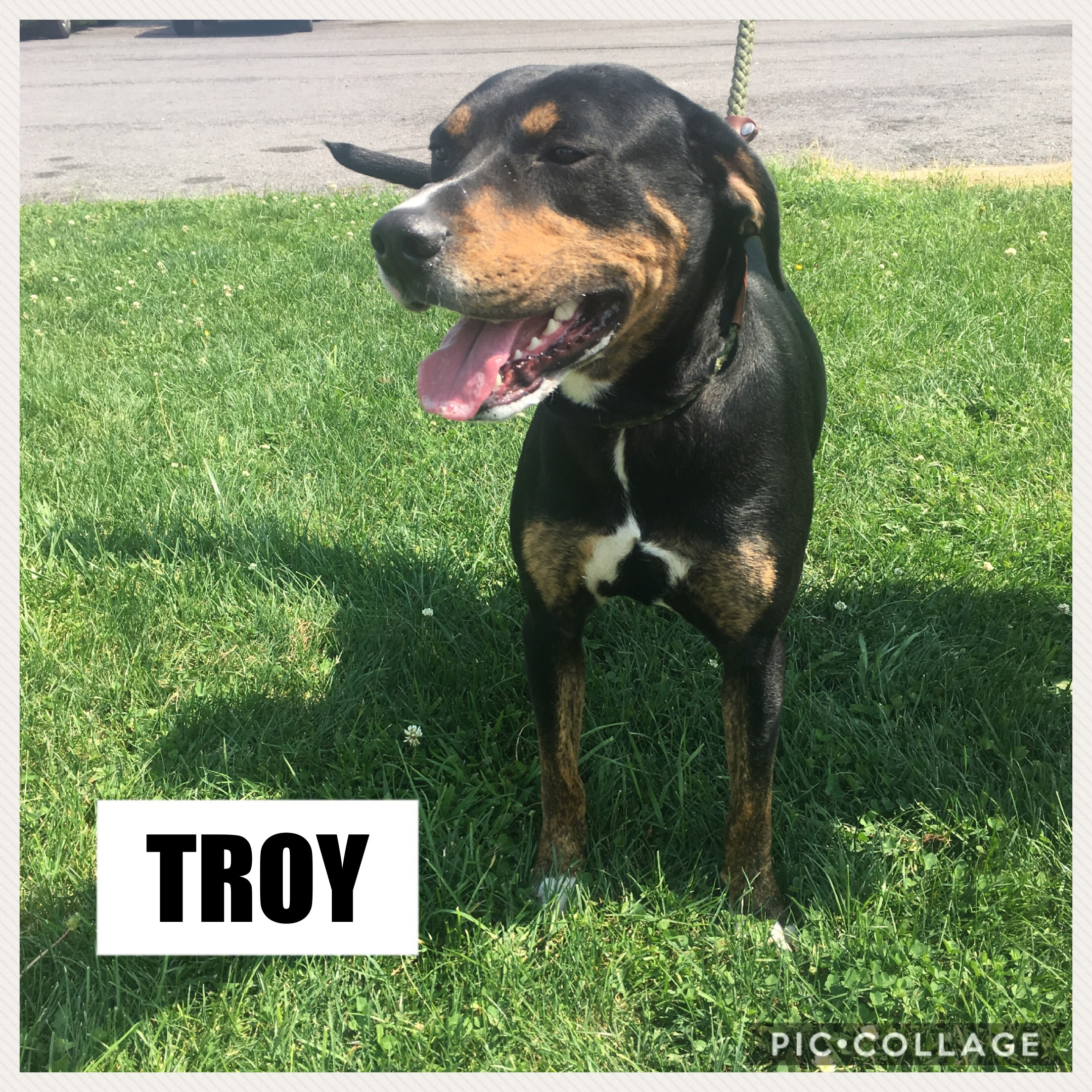 Troy - Rottweiler Mix