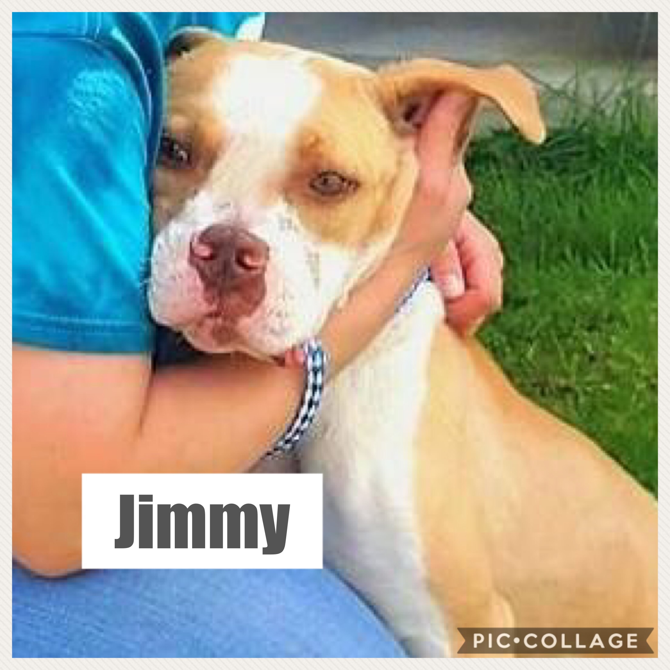 Jimmy - American Staffordshire Terrier