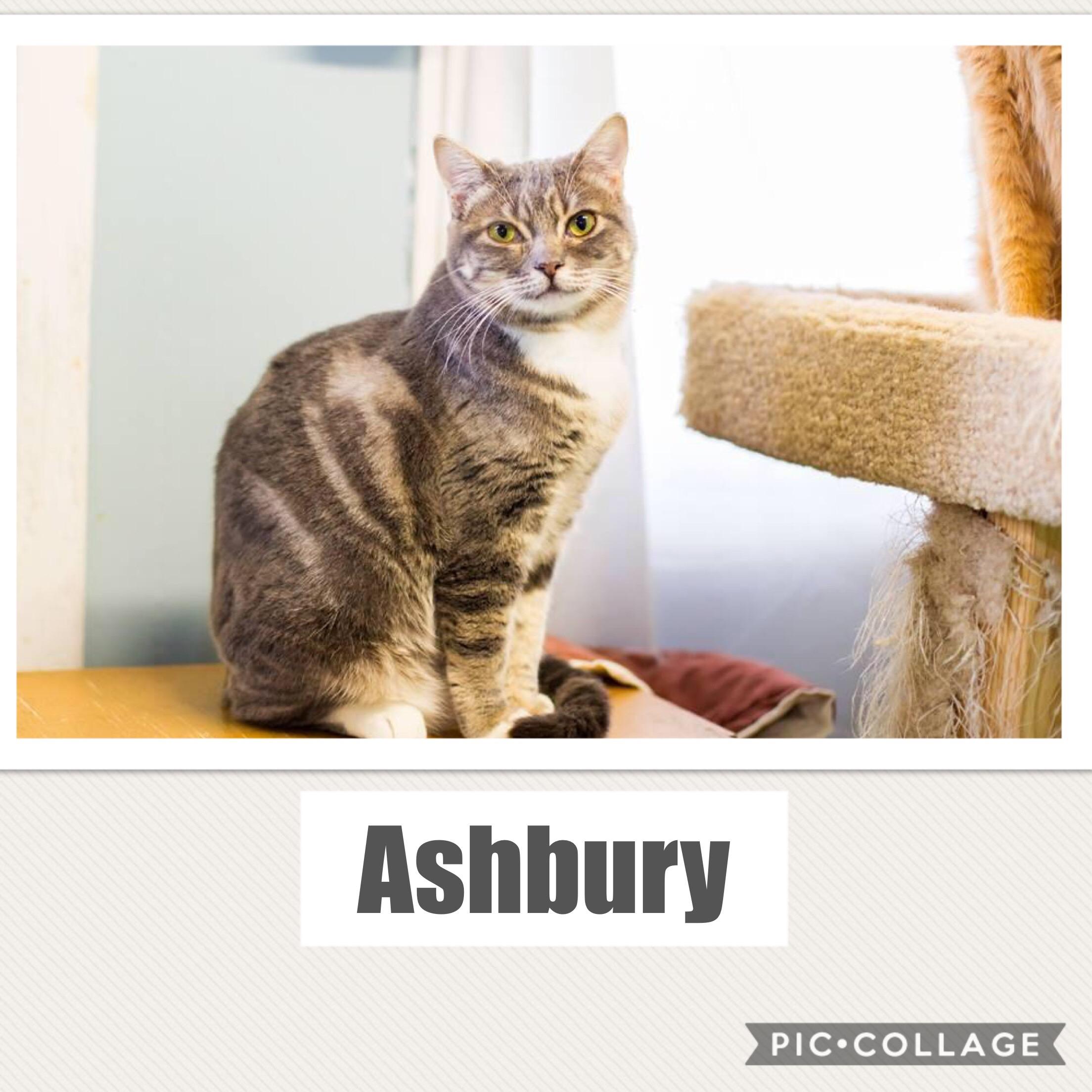 Ashbury - Domestic Short Hair