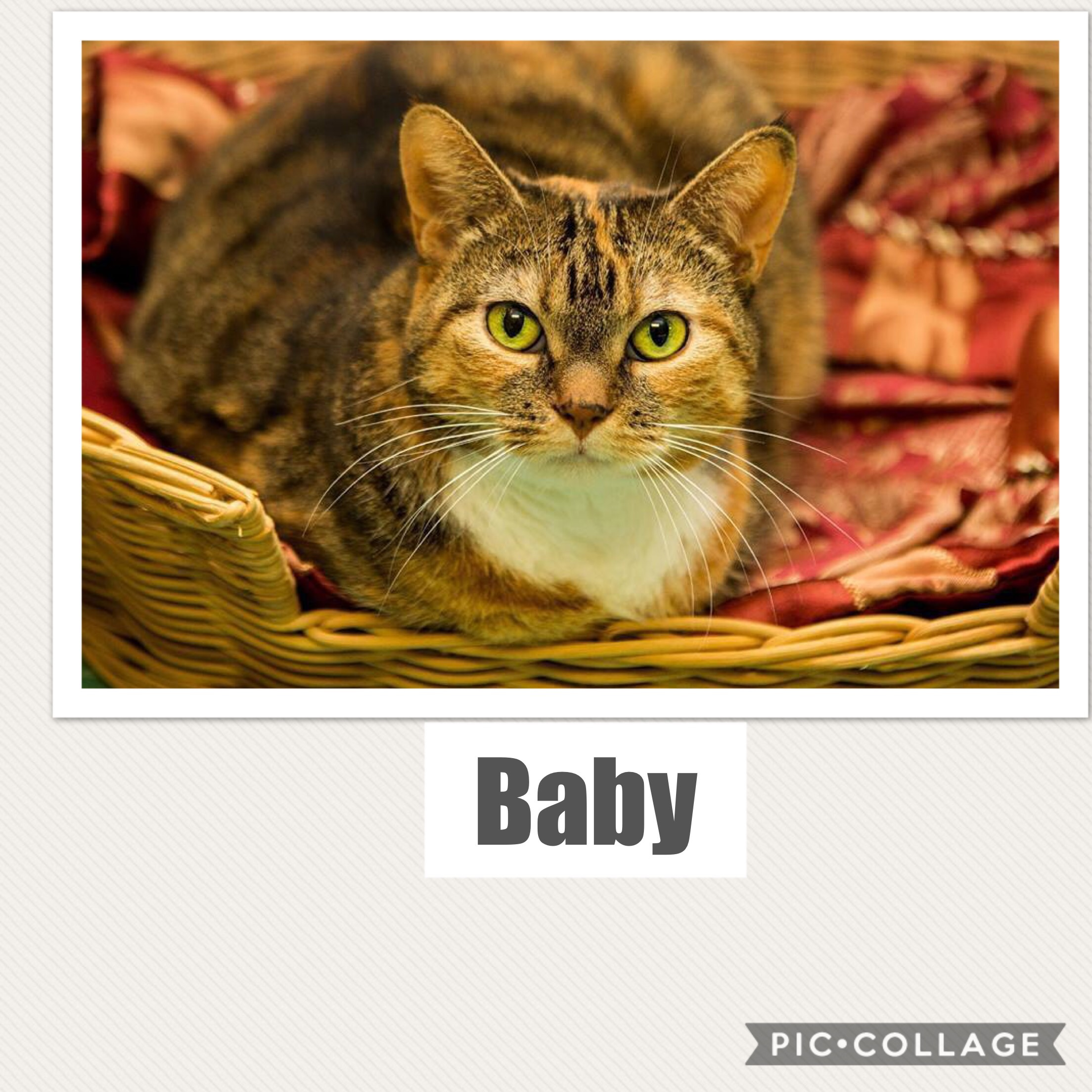 Baby - Calico