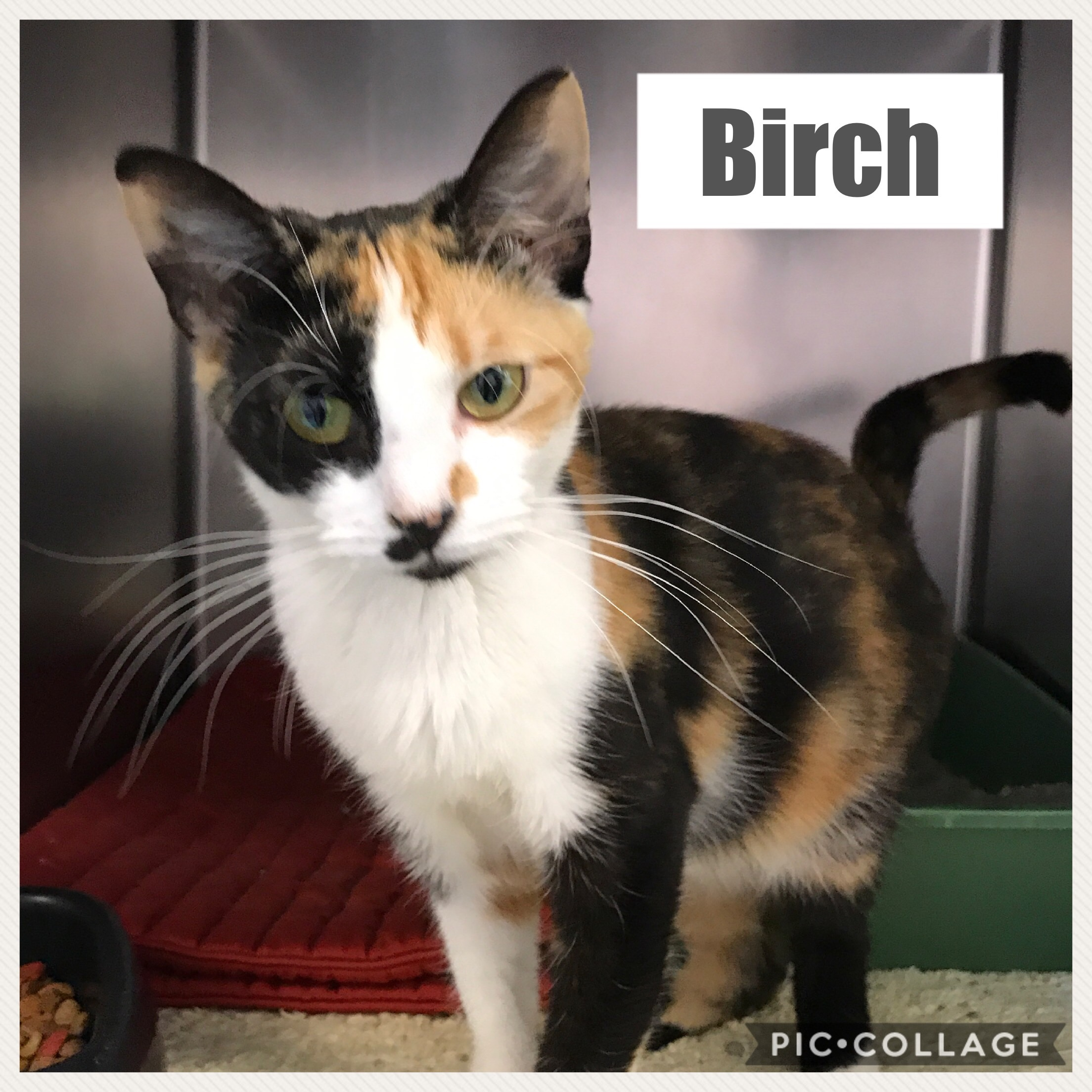 Birch | Medium Adult Female Domestic Short Hair