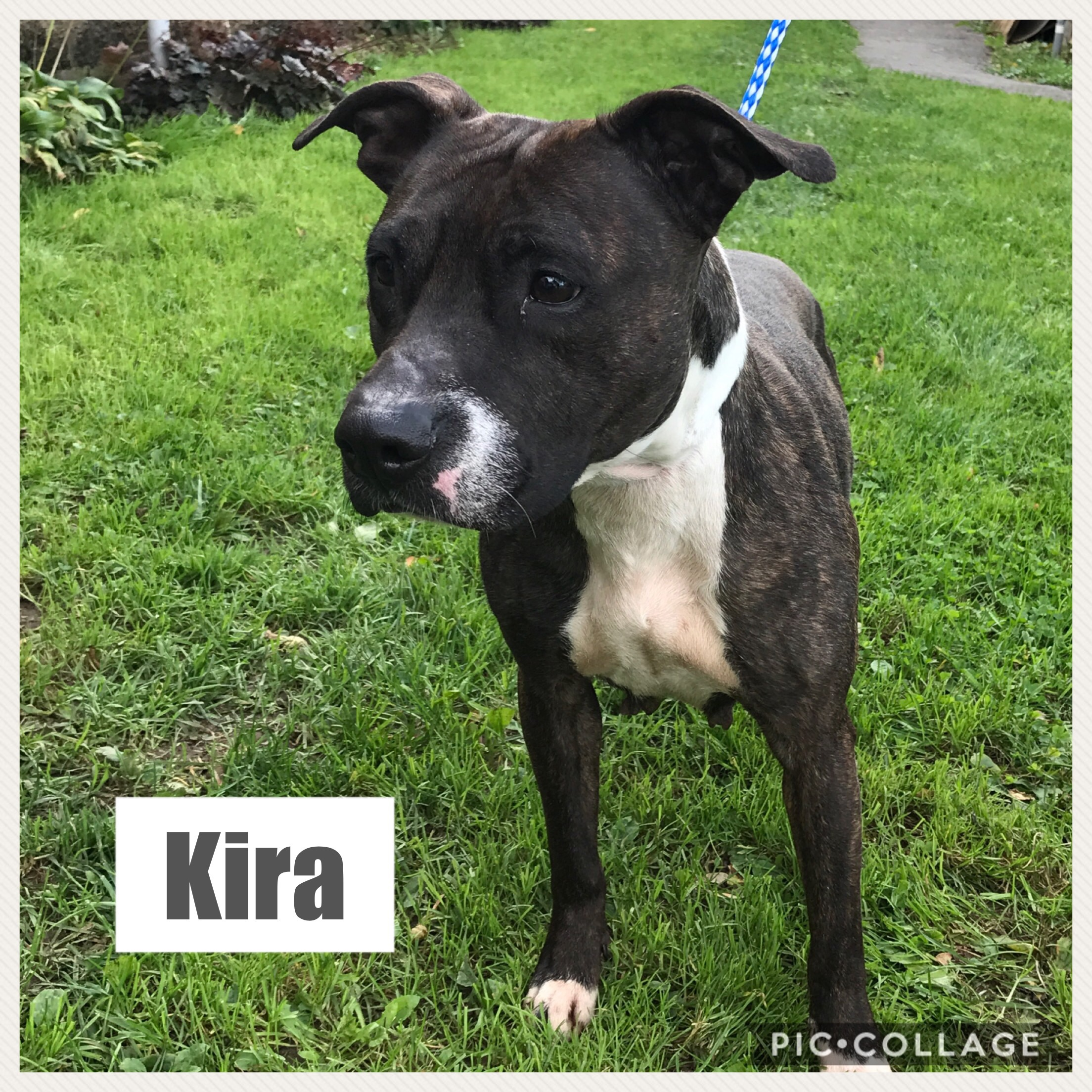 Kira - American Staffordshire Terrier  Mix