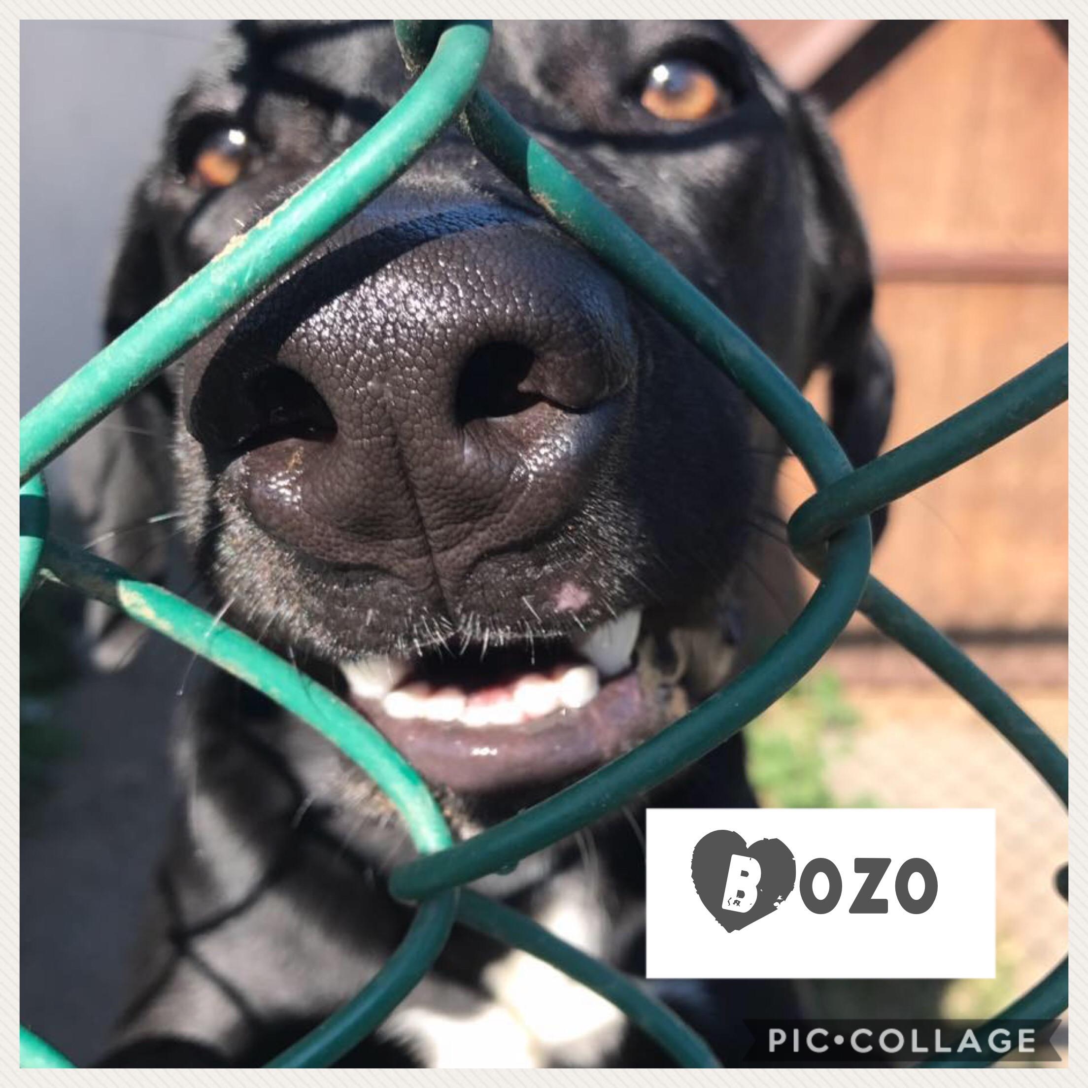 Bozo - Labrador Retriever