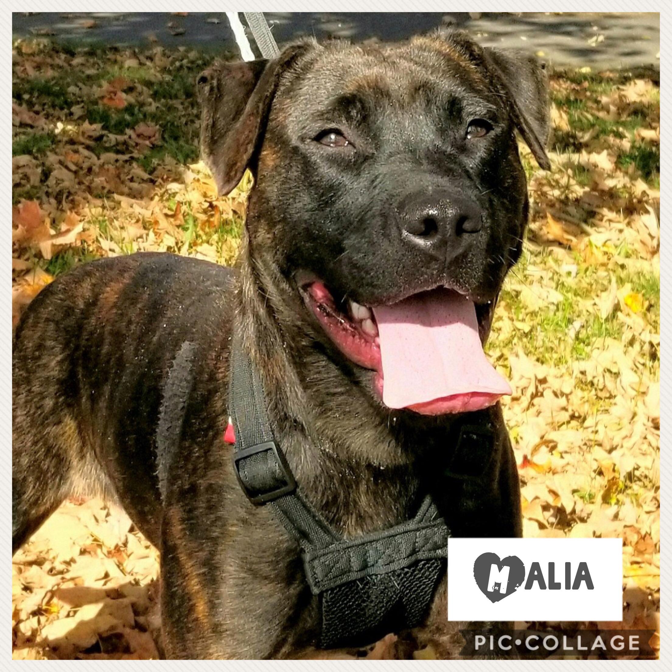 Malia - American Staffordshire Terrier  Mix
