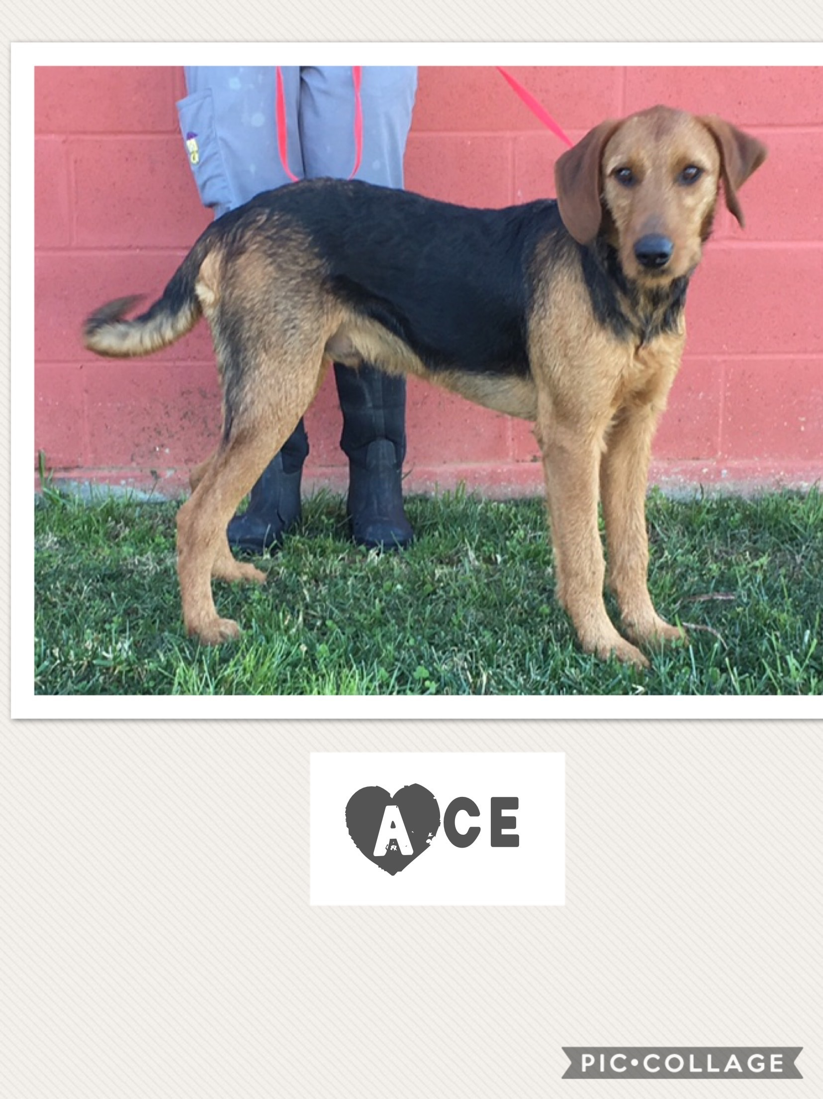 Ace - Airedale/Redbone Mix