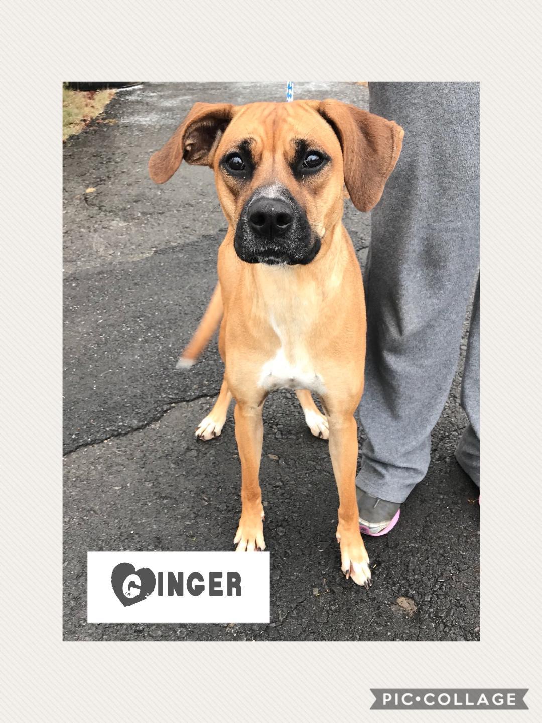 Ginger - Boxer Mix