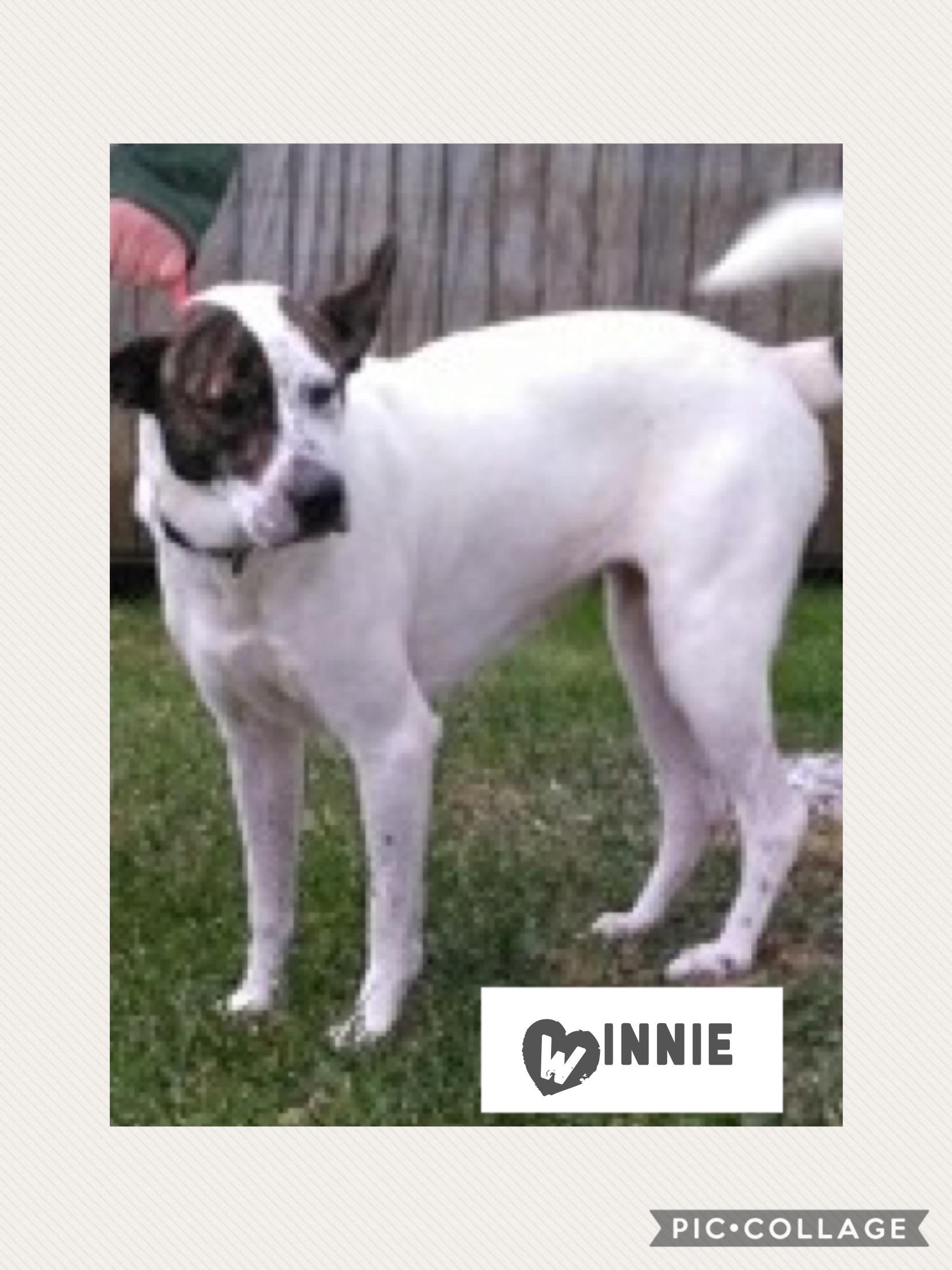 Winnie | Medium 2 years Female Boxer/Hound Mix