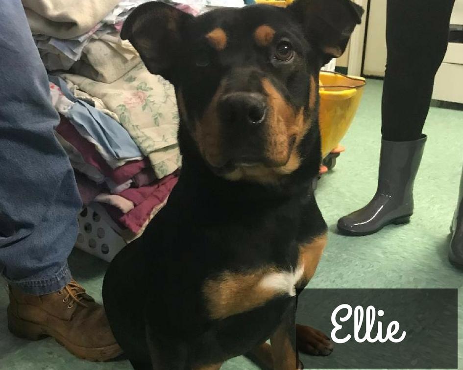 Ellie - Shepherd Mix