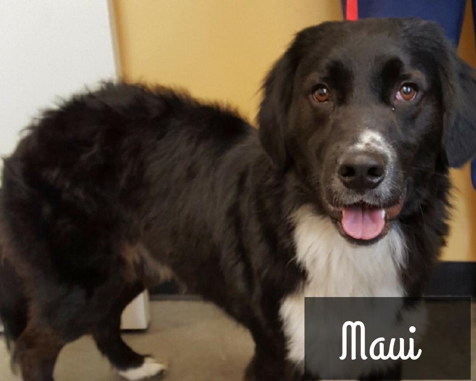 Maui - Border Collie Mix