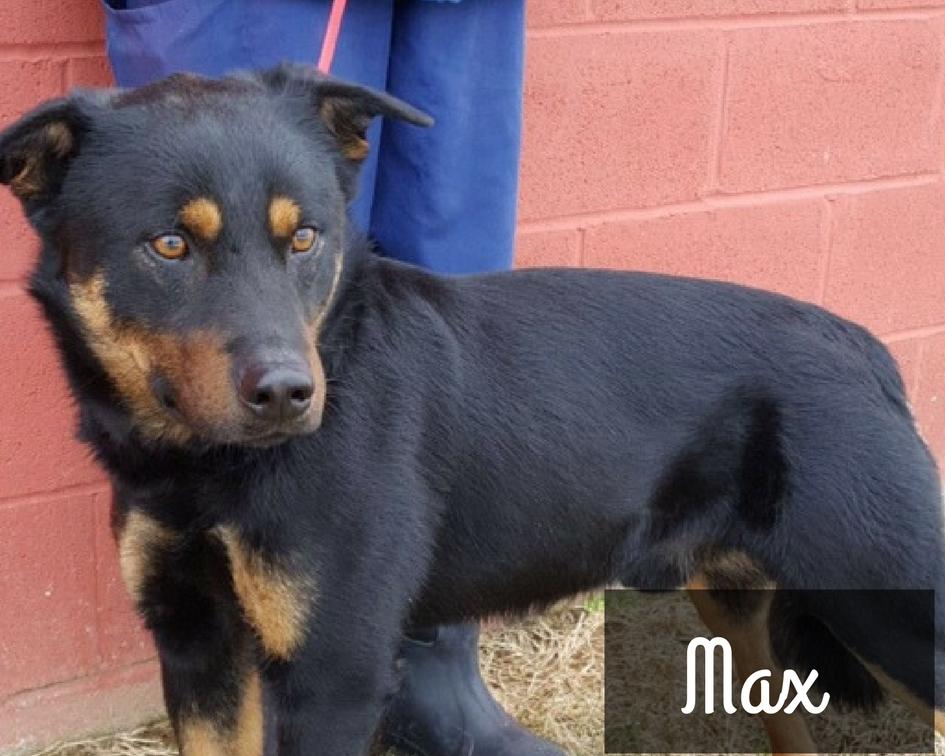 Max - Aussie/Lab Mix