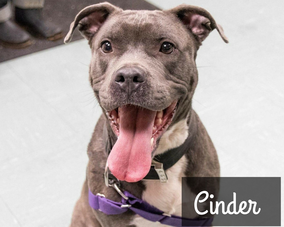Cinder - American Staffordshire Terrier  Mix