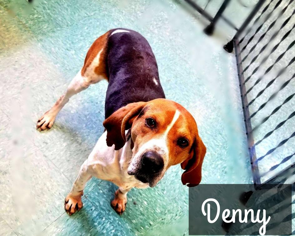 Denny - Hound