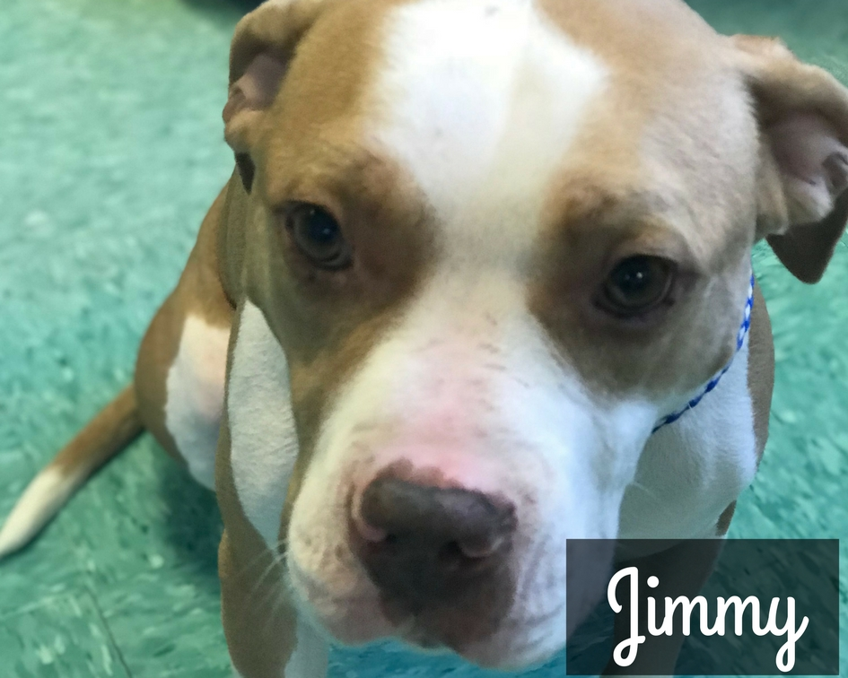 Jimmy - American Staffordshire Terrier  Mix