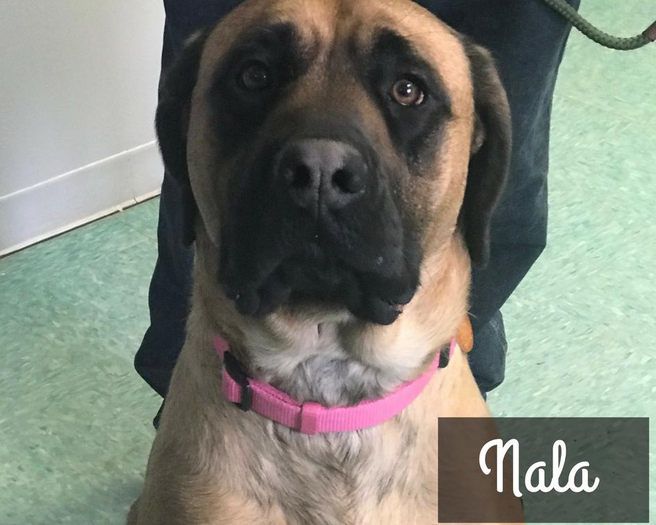 Nala - Mastiff Mix