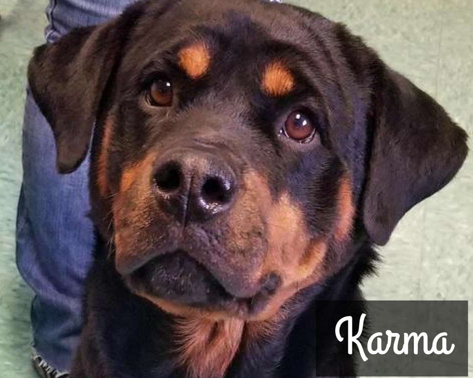 Karma - Rottweiler