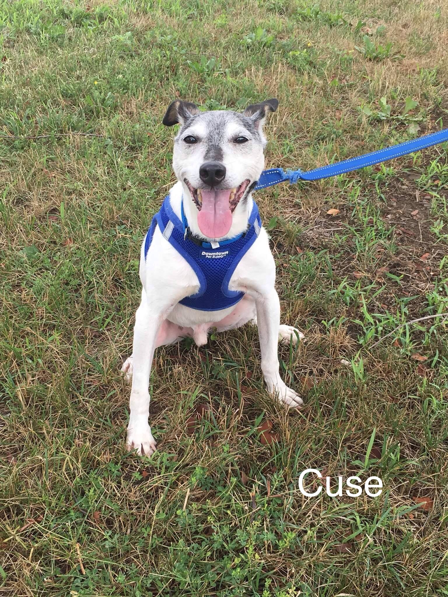 Cuse | Small 16 years Male Jack Russell