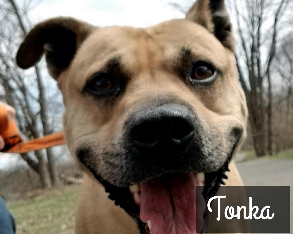 Tonka - Boxer Hound Mix