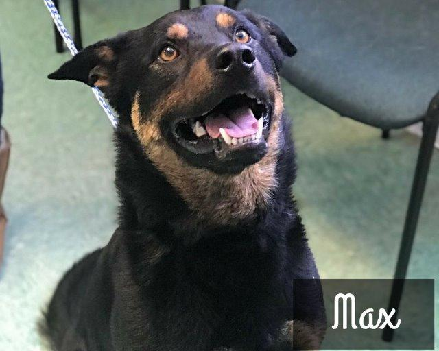 Max | Medium 2 years Male Rottweiler/Aussie Mix