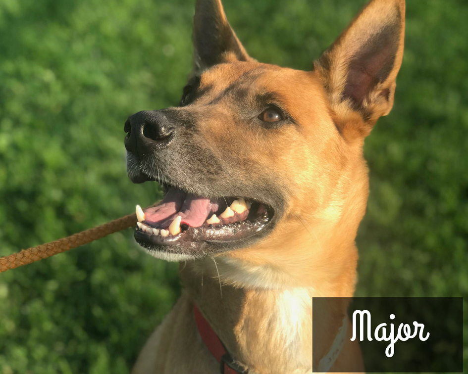 Major - Shepherd Mix