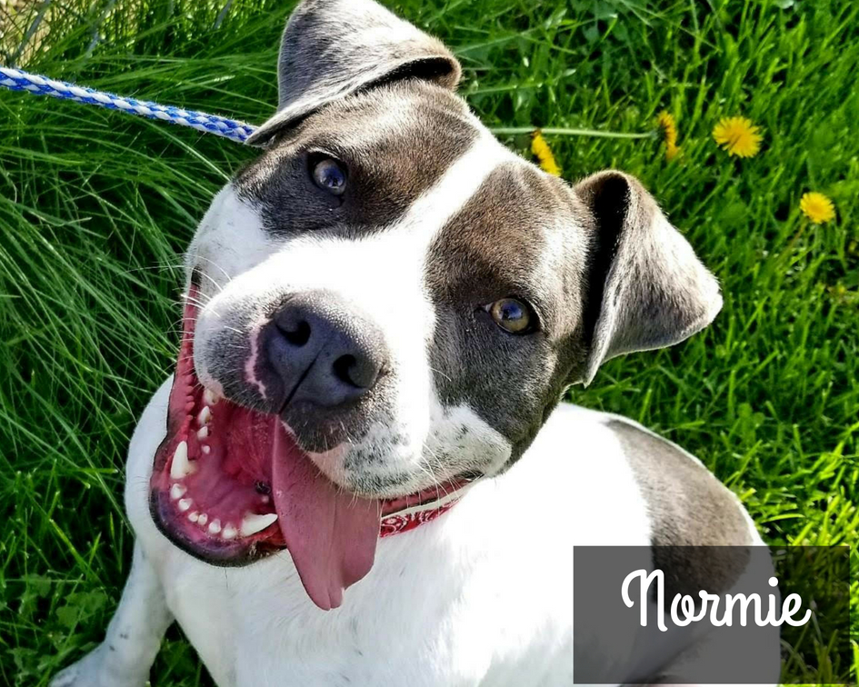 Normie - American Shelter Dog