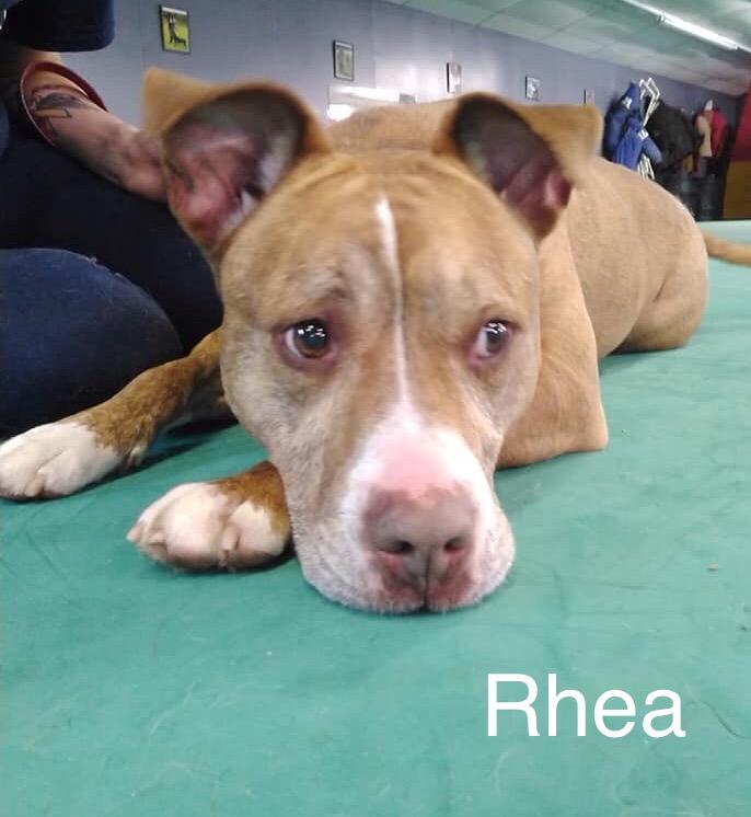 Rhea - American Shelter Dog