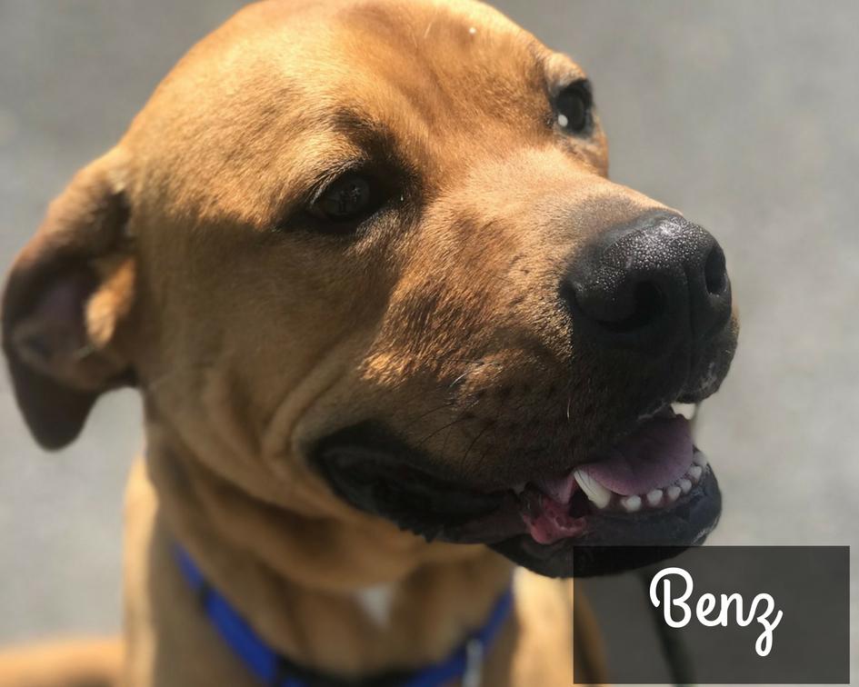Benz - Boxer Hound Mix