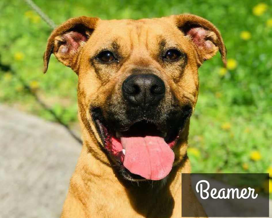 Beamer - Boxer Hound Mix