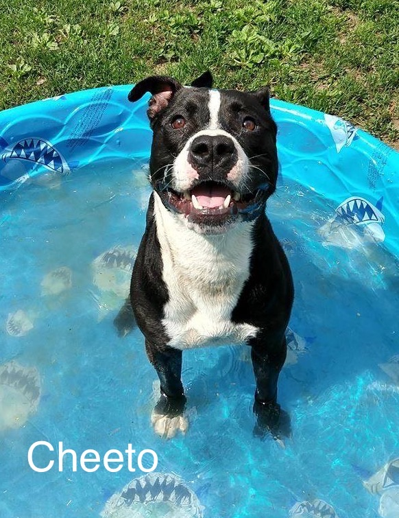 Cheeto - American Staffordshire Terrier  Mix