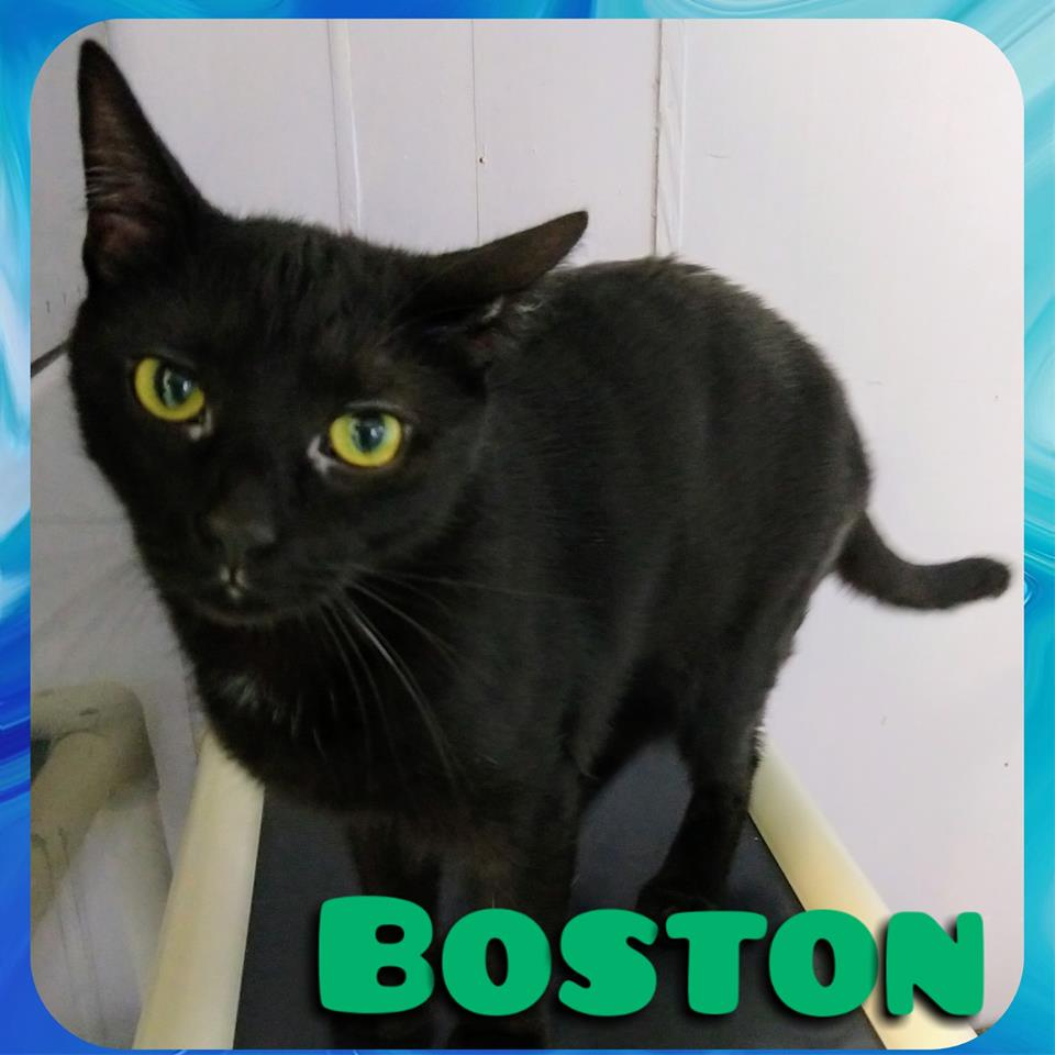 Boston - Domestic Short Hair