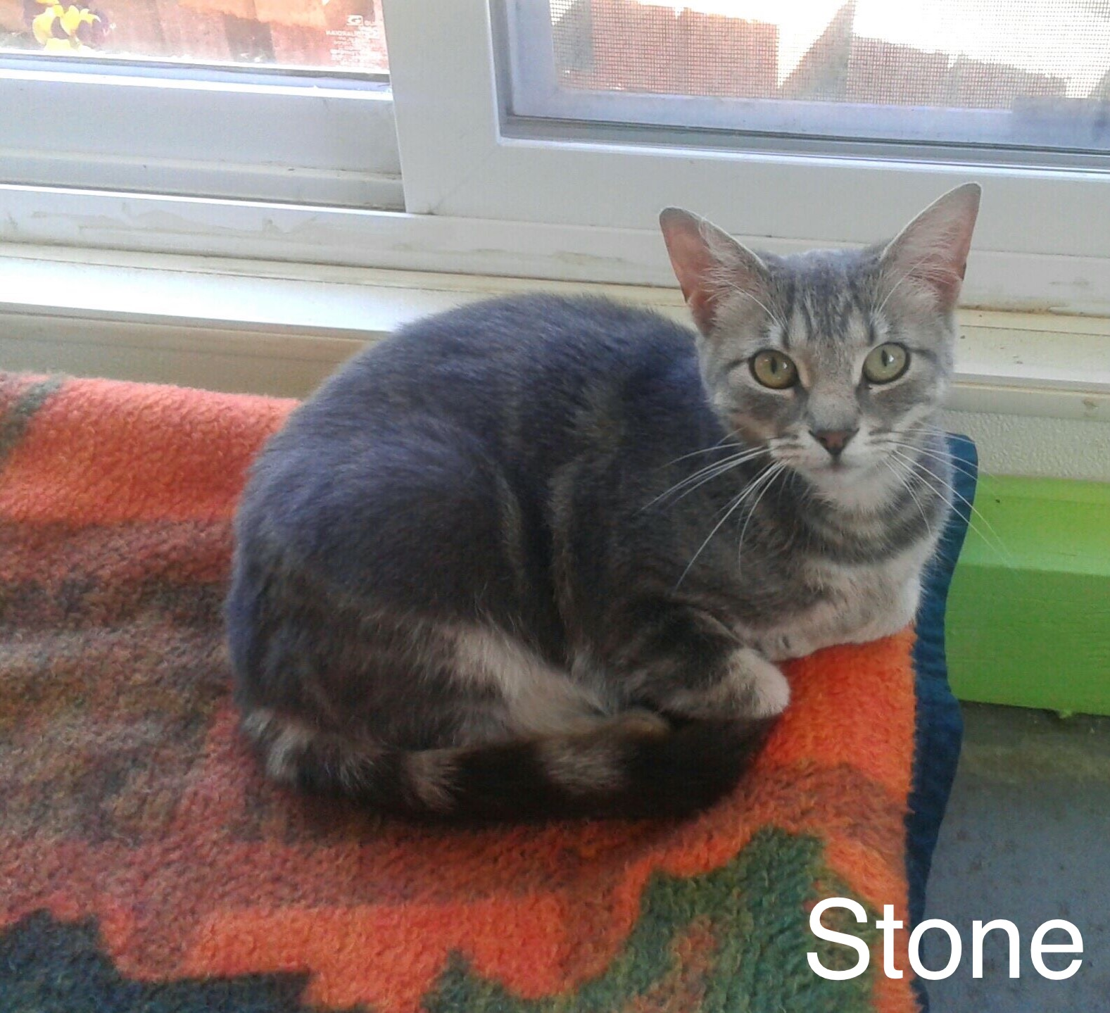 Stone - Domestic Short Hair