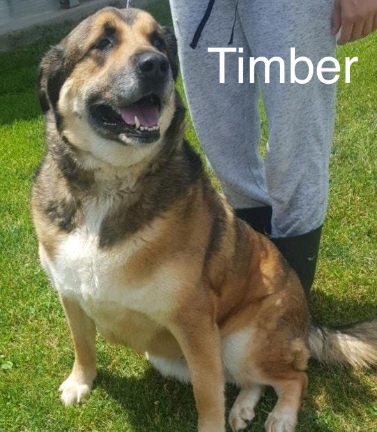 Timber | Large 6-8 years Male Shepherd