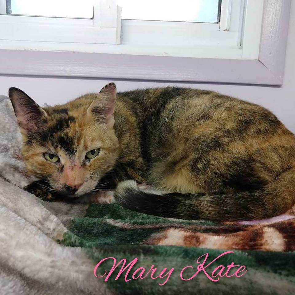 Mary Kate - Domestic Short Hair