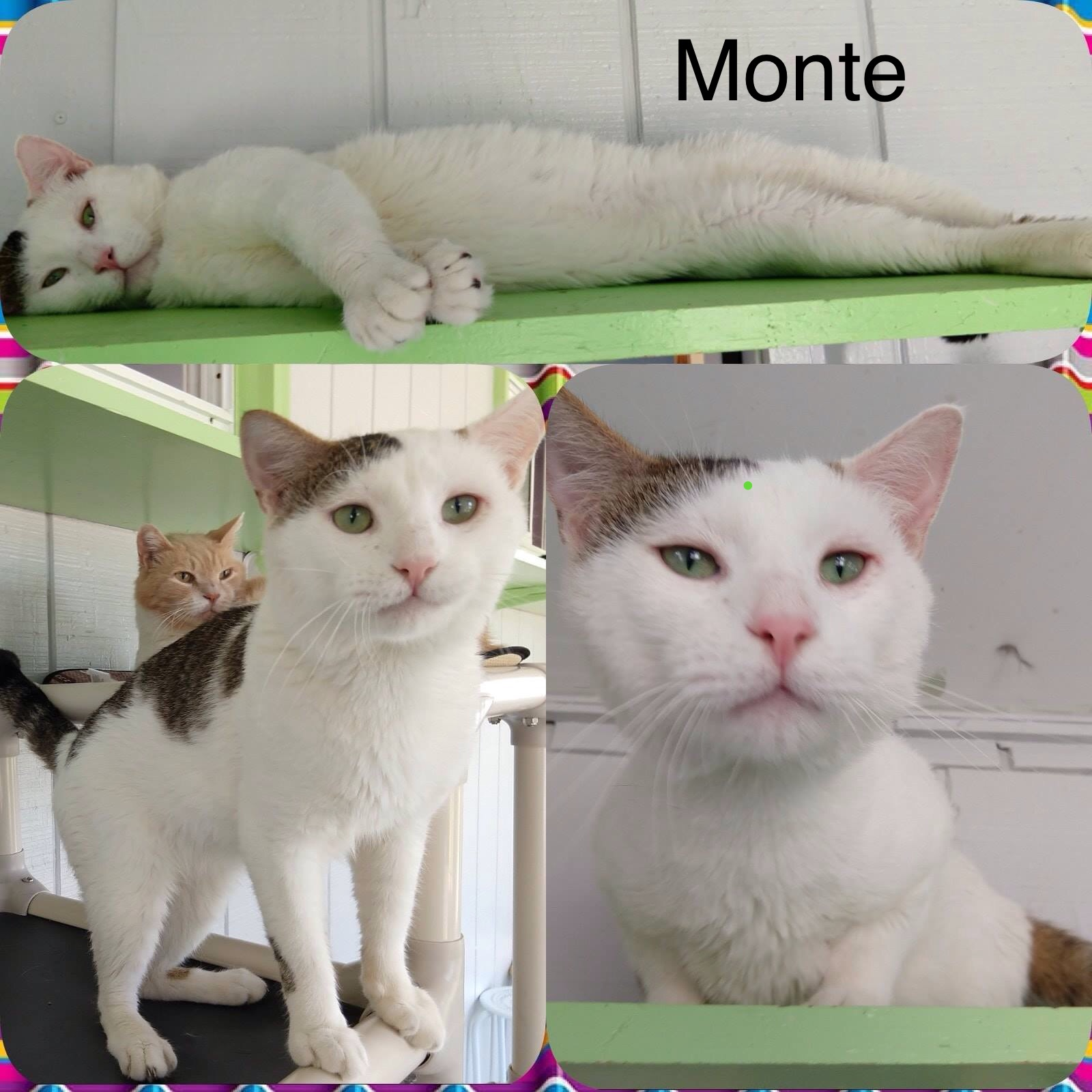 Monte - Domestic Short Hair