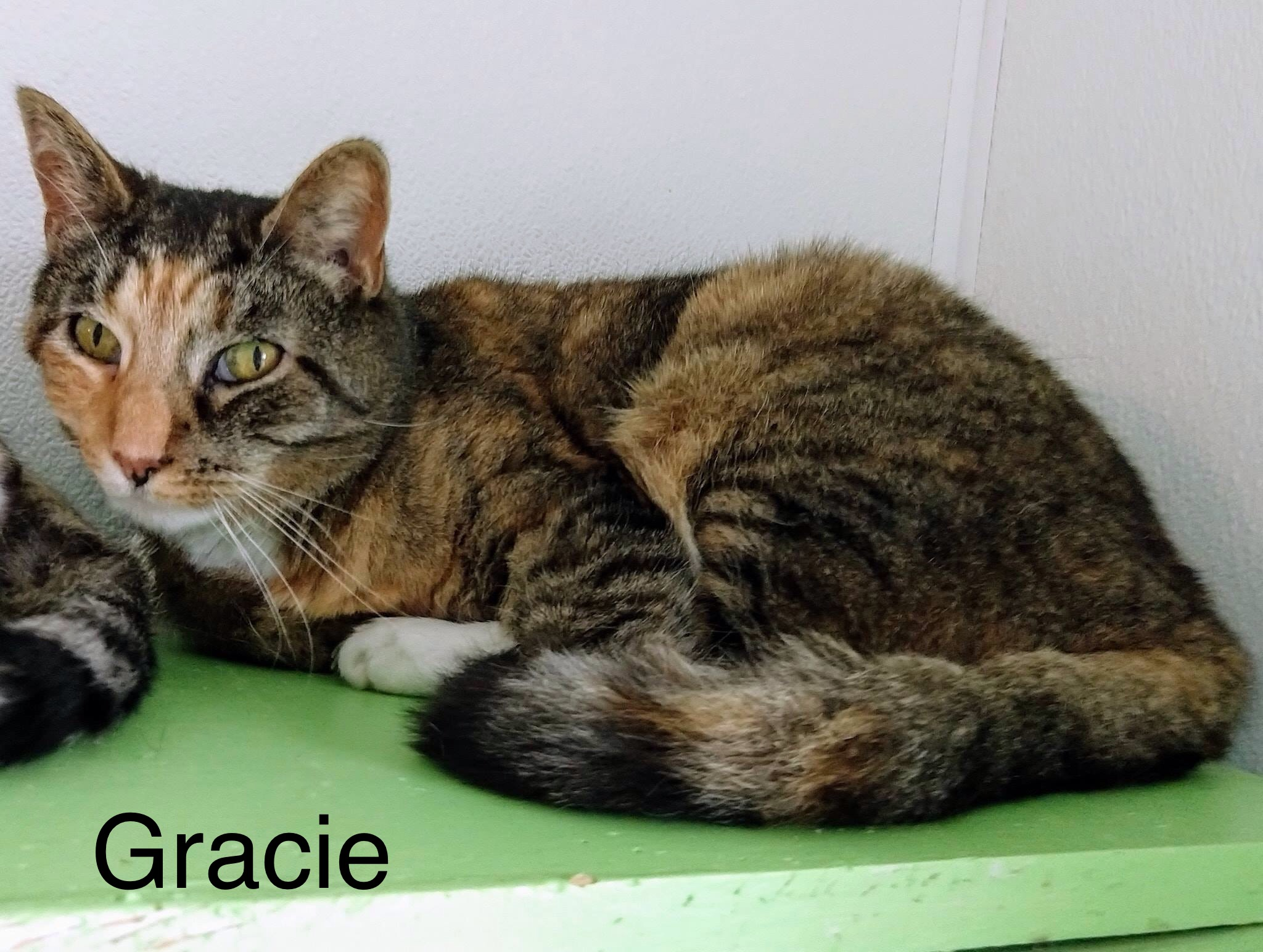 Gracie | Medium 6 years Female Domestic Short Hair